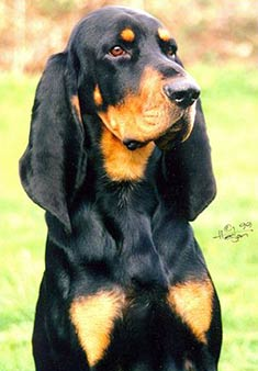 Black_and_Tan_Coonhound_face
